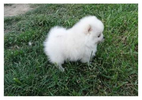 TEACUP POMERANIAN URGENTLY NEED TO BE RE-HOME